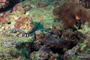 Jūros gyvatė