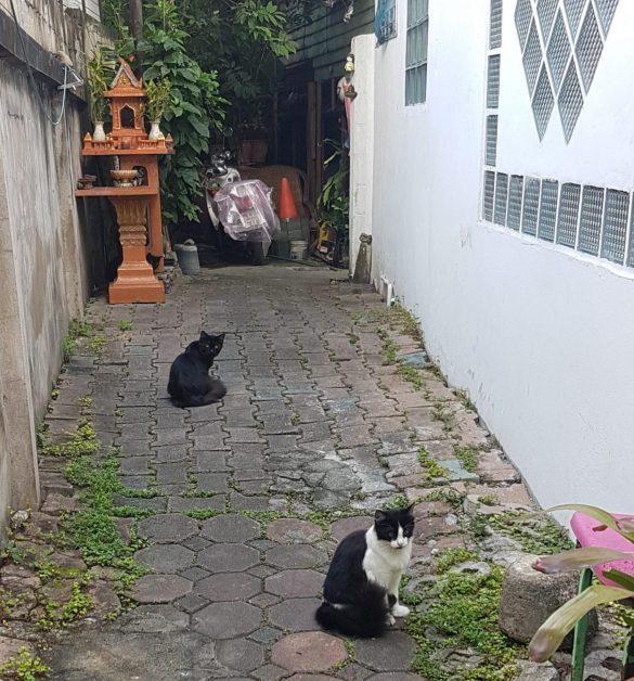chiang mai katės