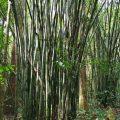 Bambukas Tailando džiunglėse