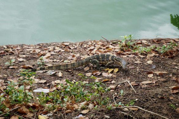 lumpini fauna tailande pagal gintare ir sauliu